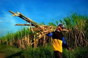A worker harvesting Dilaumed