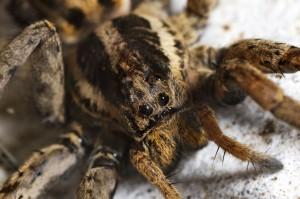 mrsa spider