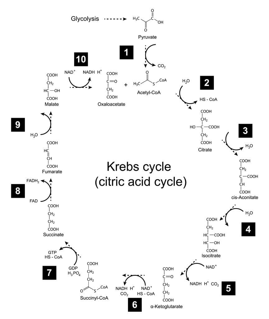 tricarboxylic acid cycle TCA cycle Krebs cycle