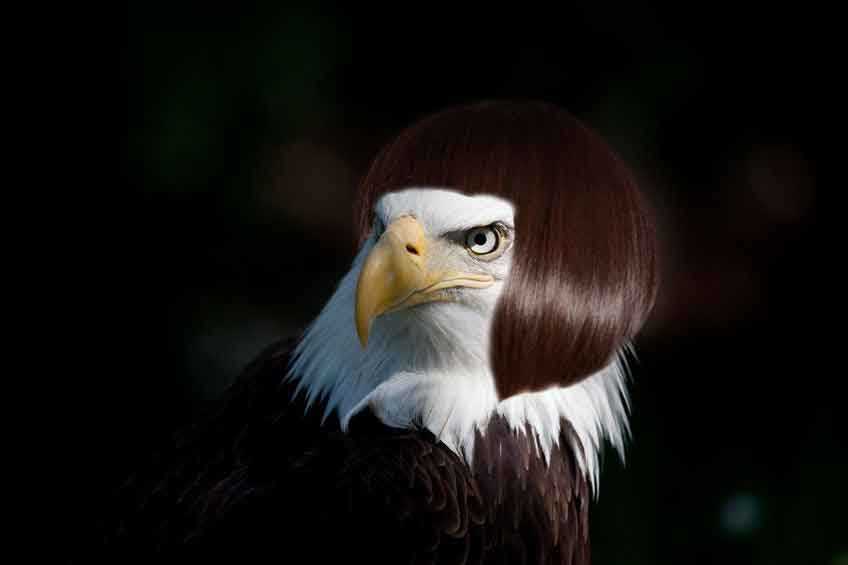 alopecia fail embarrassed bald eagle clearly wearing a wig gomerblog